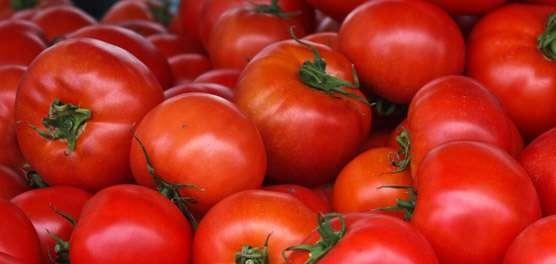Consórcio cultural no manejo ecológico de insetos em tomateiro