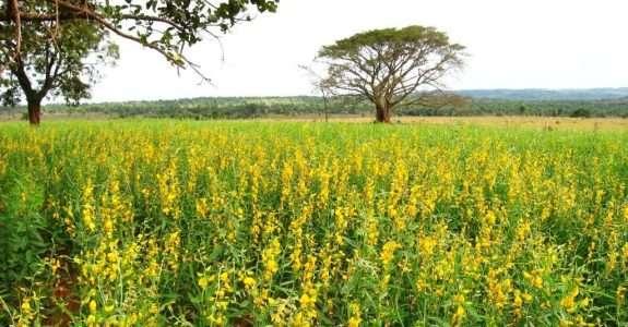 Soja para fins de adubação verde e produção de grãos