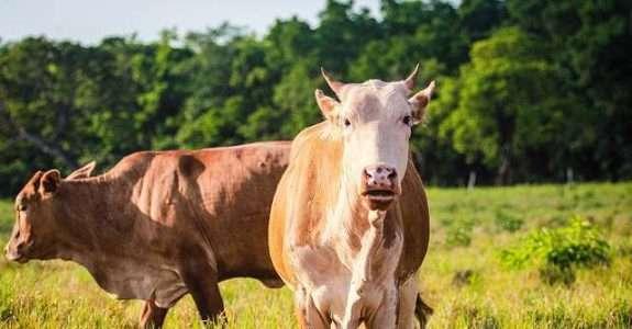 Selos de boi 'sustentável' e 'orgânico' valorizam carne e ajudam a preservar o Pantanal