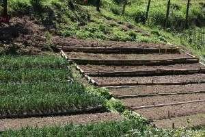 O cultivo de hortaliças