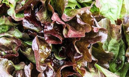 Produção de mudas de alface, diferentes substratos orgânicos em bandejas