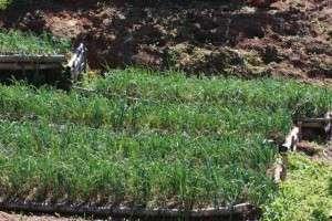 Plantio direto em propriedade periurbana