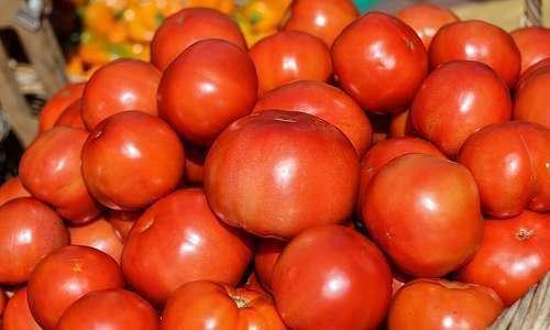 Consorciação do tomateiro com plantas aromáticas