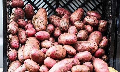 Cultivo orgânico da batata