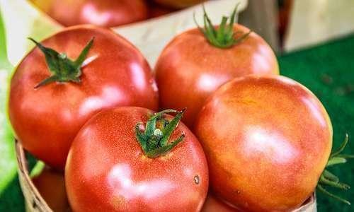 Tecnologia para incrementar produção de tomate