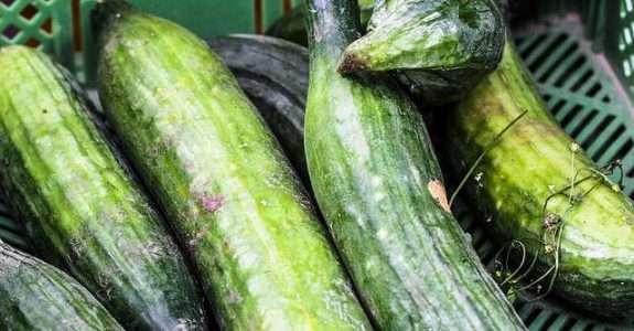 Desempenho de pepino orgânico nas condições de Cerrado