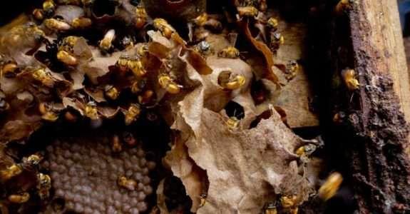 Produção de abelhas sem ferrão e uso na polinização agrícola