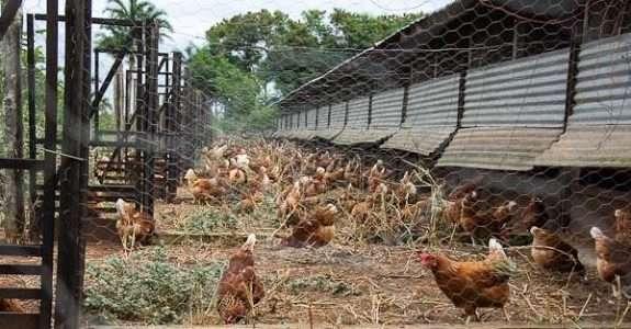 Galinha caipira para produção de ovos, regime semi-intensivo