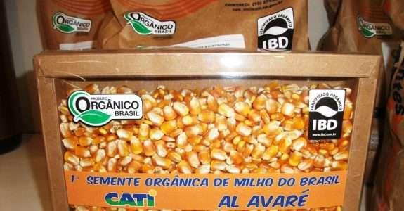 Desenvolvida a primeira semente orgânica de milho do Brasil