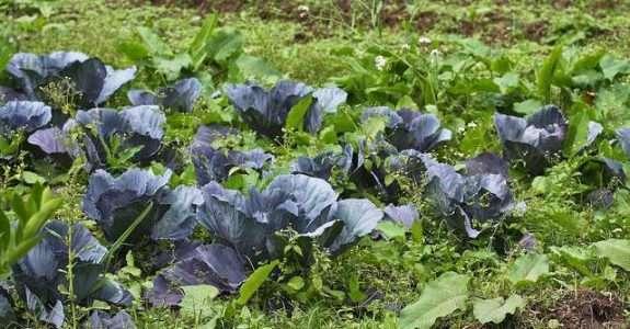 Manejo integrado de doenças em hortaliças