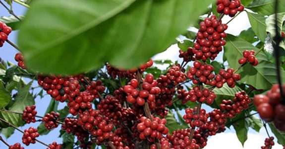Influência de barreira vegetal com sansão-do-campo sobre entomofauna em café