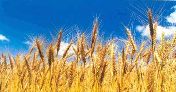 Argentinos criam seu primeiro fungicida biológico para trigo