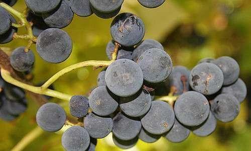Produção de uva orgânica