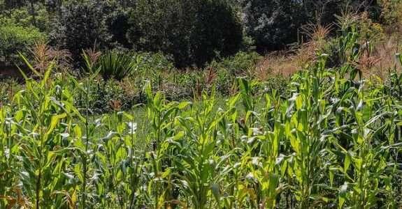 Decomposição de resíduos de milho e soja em função do tempo