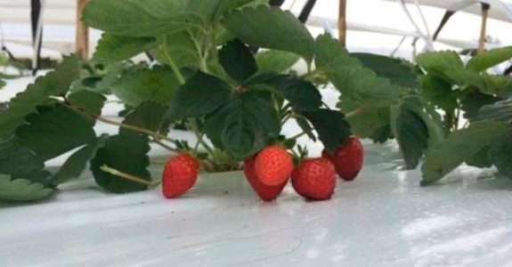 Produção de morangos orgânicos será favorecida em Sergipe