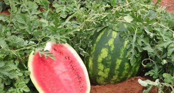 Genótipos de melancia sob sistema de cultivo orgânico irrigados no Submédio do São Francisco