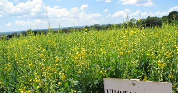 Adubação verde pode melhorar a qualidade dos solos e ainda recuperar áreas degradadas