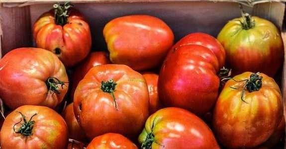 Parceira da SNA, APTA indica uso de fungo em lavoura de tomate orgânico