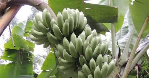 Epagri lança cultivares orgânicos de tomate, alface e banana