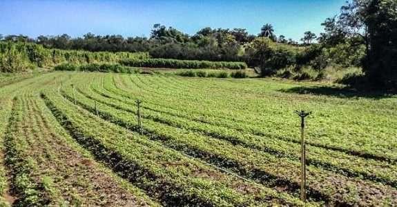 Sistema de plantio direto em agricultura orgânica