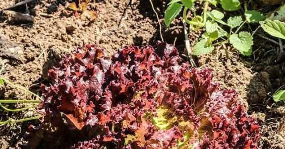 Desempenho de substratos para produção de mudas de alface orgânica