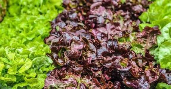 Qualidade microbiológica e produtividade de alface sob adubação química e orgânica