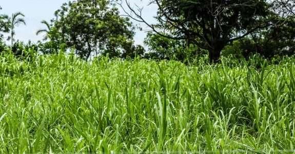 Adubação verde na cultura do milho