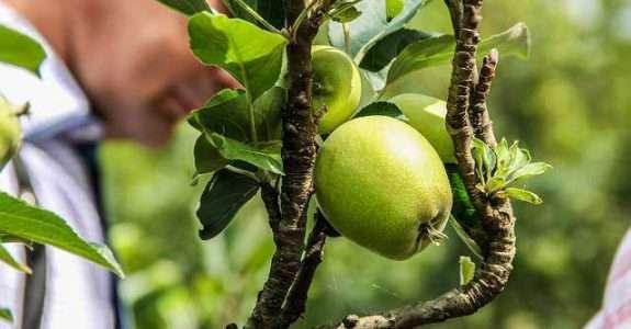 Solo, produtividade e qualidade de maçãs 'Royal Gala', convencional e orgânico