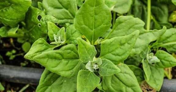 Flores orgânicas produzidas em Minas ganham o mercado internacional