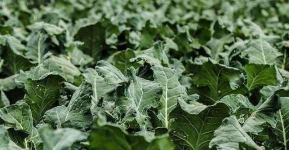 Aplicativo auxilia na identificação de inimigos naturais de pragas agrícolas