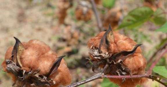 Agricultores do Ceará apostam na produção de algodão orgânico