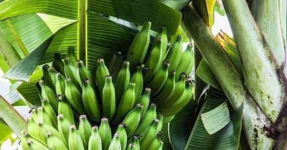 Banana, a fruta que pode se tornar o principal produto da nossa produção orgânica