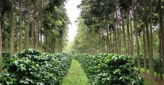 Cultivo de Fruteiras em Sistemas Agroflorestais