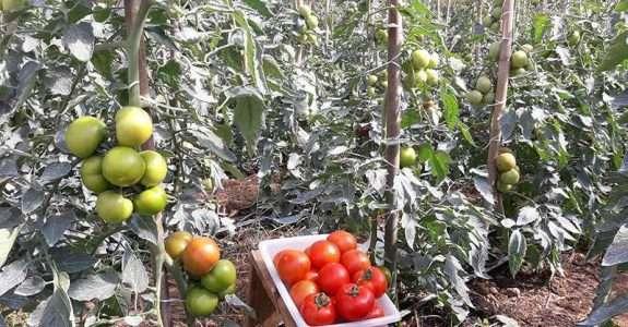 Tomatorg: produção sustentável de tomates eleva lucro em 2,7 vezes