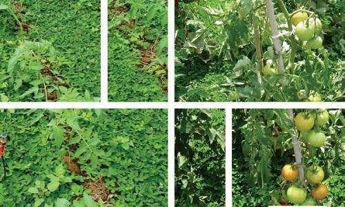 Plantio direto de tomate sobre coberturas vivas em sistema orgânico de produção