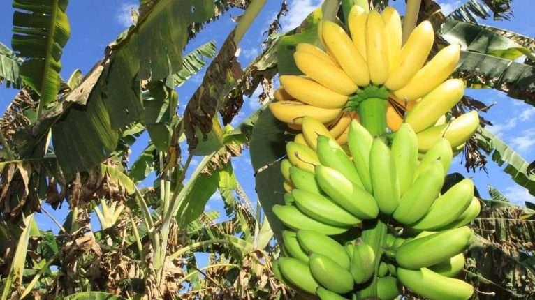 cacho-de-bananas