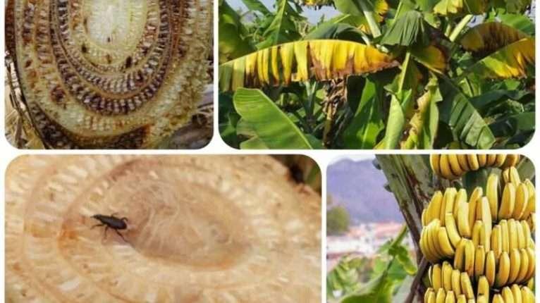 broca-da-banana-mal-de-panamá